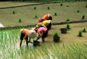 Planting out the rice